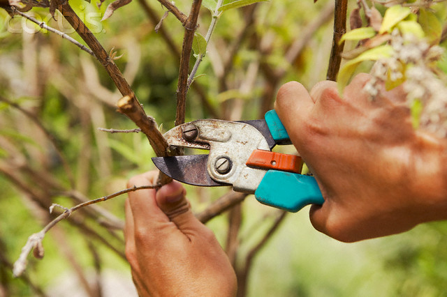 Hands pruning branches