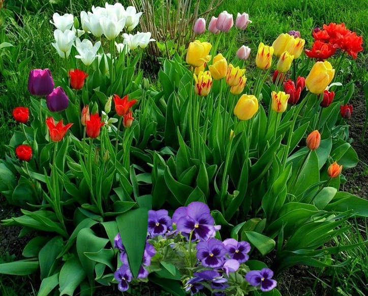 Какие цветы сажать с тюльпанами 961