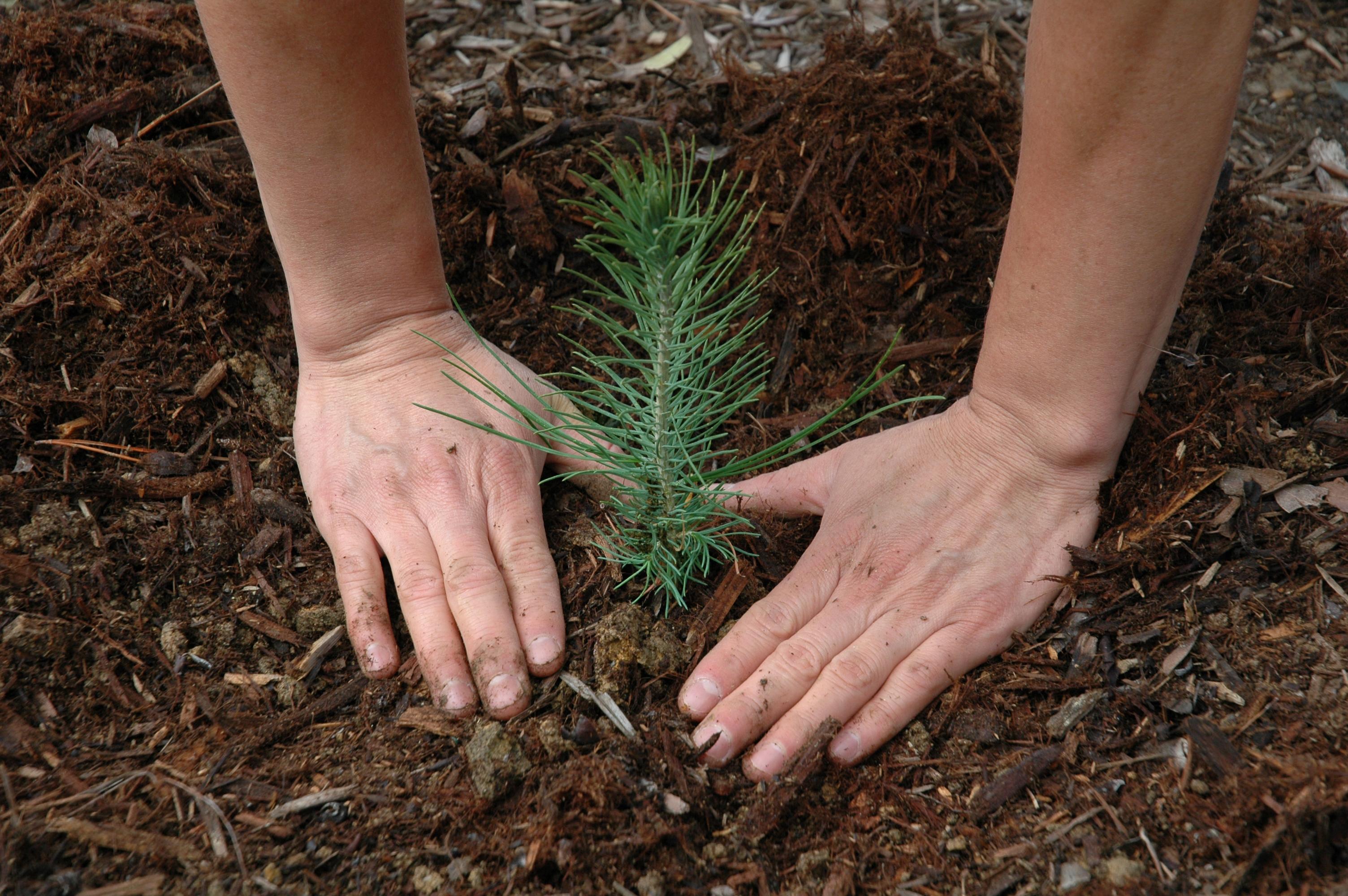 Деревья в лесу сажают