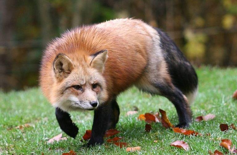 ВКалининском районе бешеная лиса забралась ввольер ксобаке
