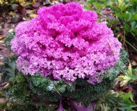 В Ботаническом саду цветет сиреневая капуста
