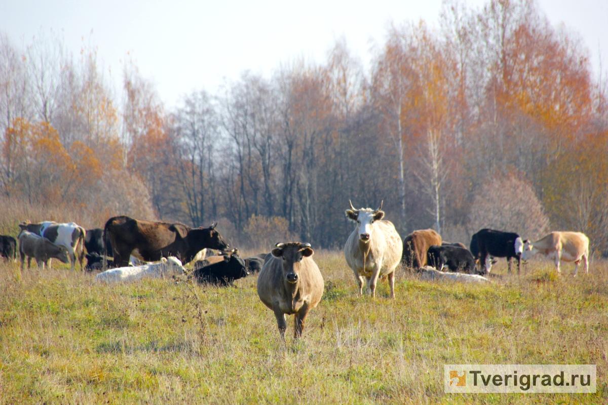 В Кимрском районе стадо коров с агрессивными быками держит в страхе несколько деревень | Видео
