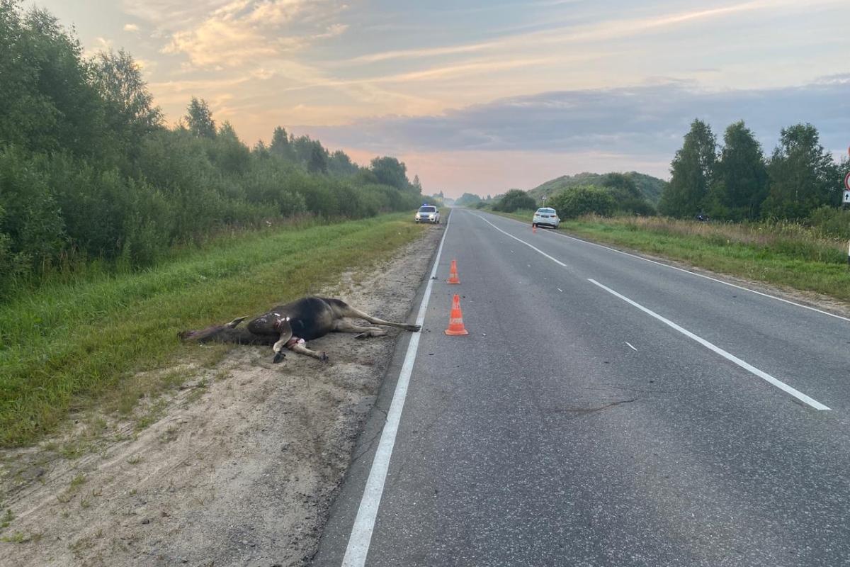 Легковушка сбила лося в Кимрском районе, водитель получил травмы различной степени тяжести