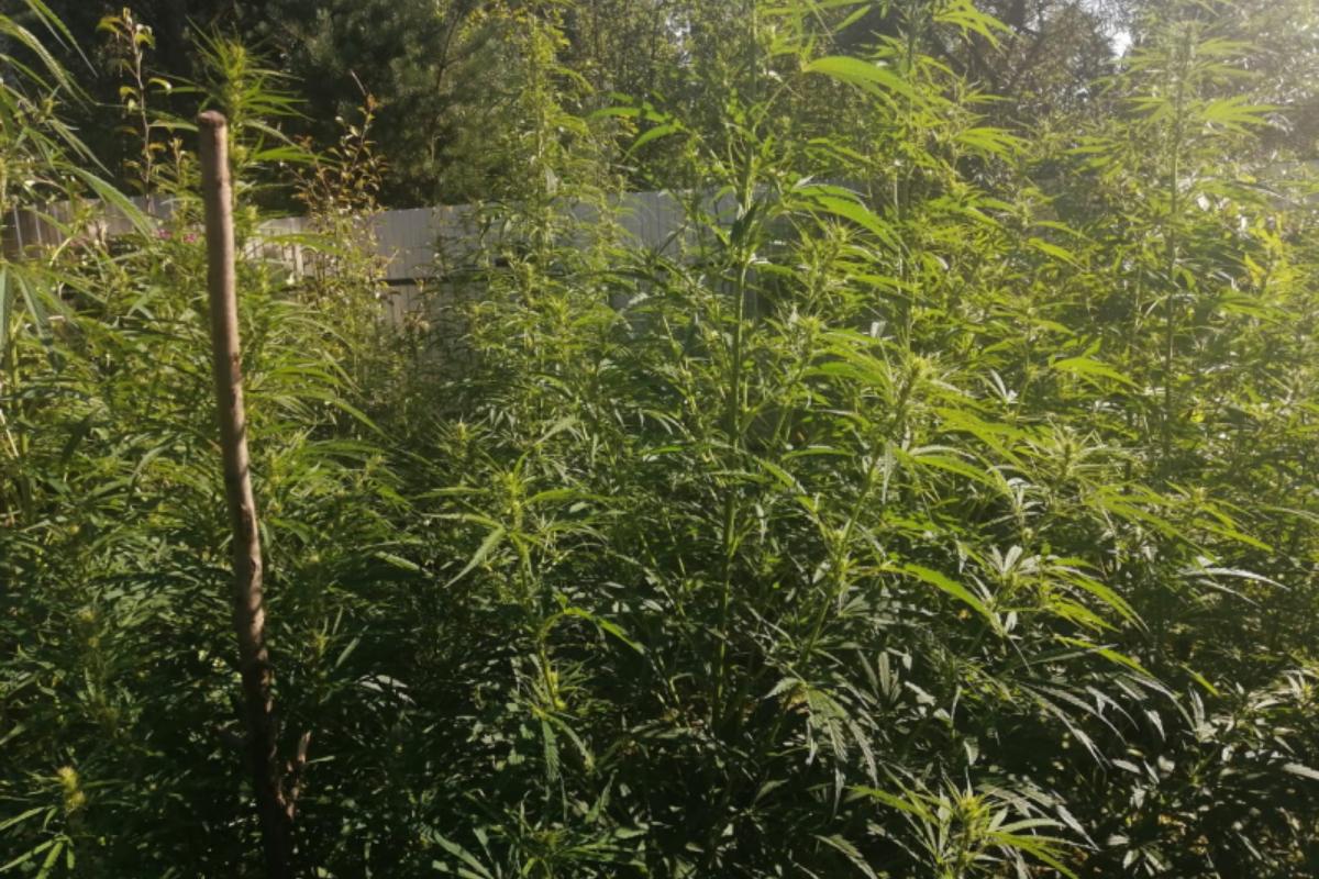 Выращивание конопли ст 231 марихуана 10 грамм